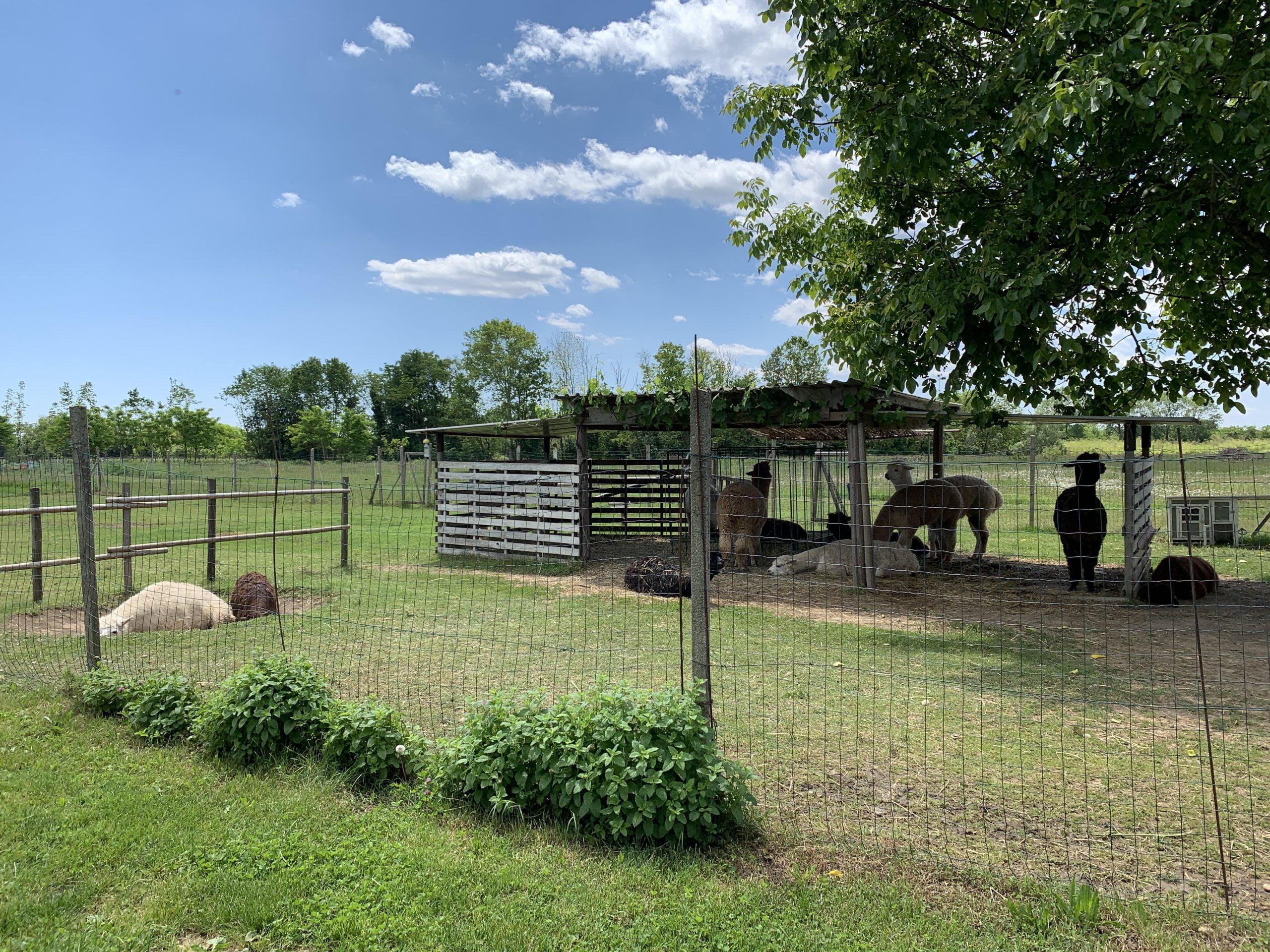 Read more about the article Conosciamo gli alpaca: visita guidata in fattoria